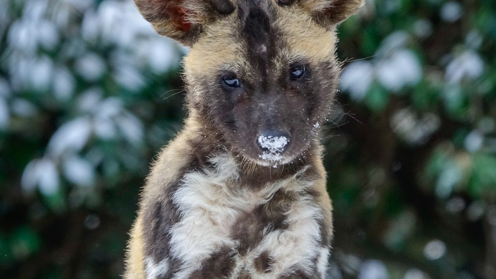 Video African Painted Dog Puppies Enjoy Their First Snow At The