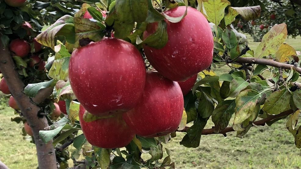 Apple harvest underway in Door County