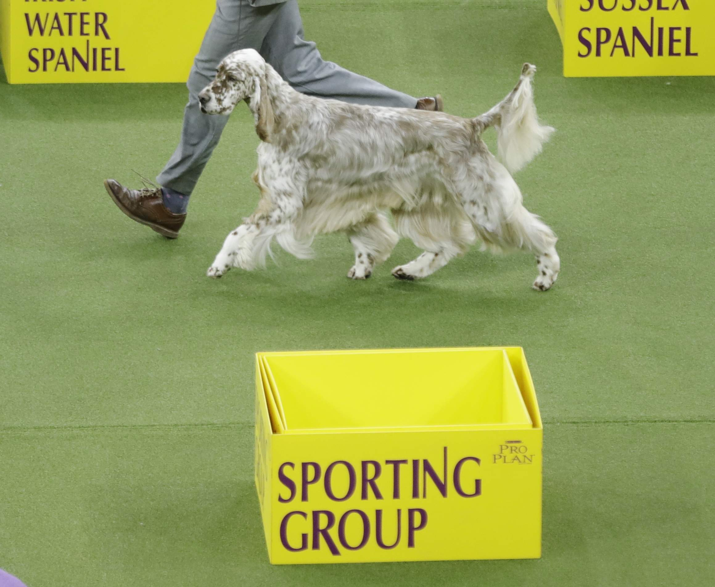 Colt, an English setter, competes with the sporting group during the 141st Westminster Kennel Club Dog Show on Tuesday, Feb. 14, 2017, in New York. THE ASSOCIATED PRESS