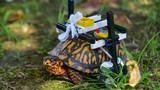 Injured turtle at The Maryland Zoo fitted with LEGO wheelchair