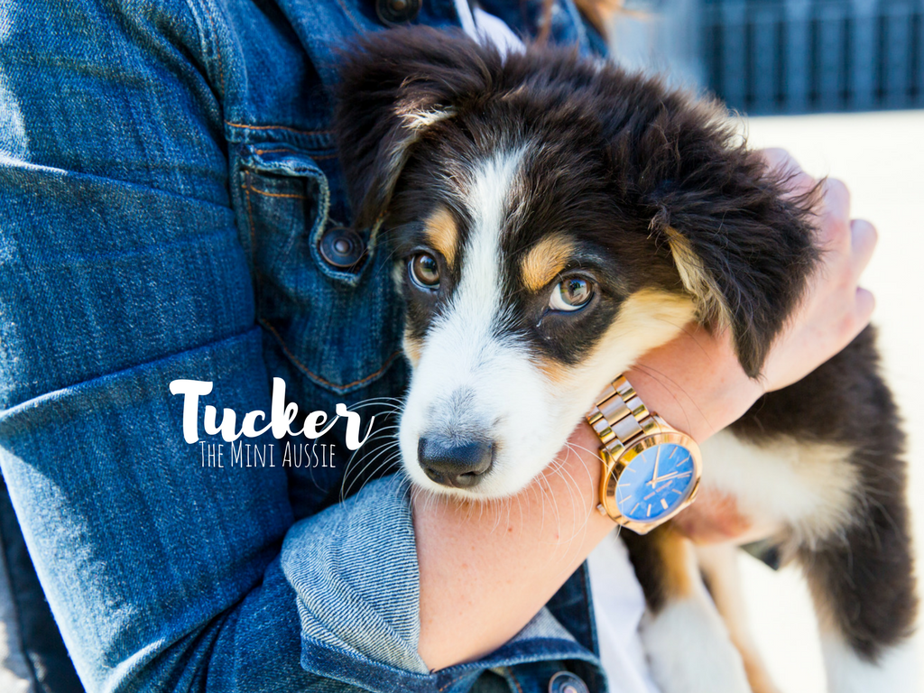 Oh, Tucker. You precious little angel baby. I have to admit - I know this dog, and he is the dreamiest of dreams. He is perfect parts playful, loyal, and snuggly. Tucker is a 4.5 month old Mini Australian Shepard and lives the city life with his mumsie, Caitlin, in Pioneer Square. Caitlin adopted Tucker from Aspen Rain Fields in Ferndale, WA. Tucker likes chewy treats, chasing pigeons, and playing with other dogs. He dislikes waiting for dinner...we get it Tuck, we get it.{ } (Image: Sunita Martini / Seattle Refined)