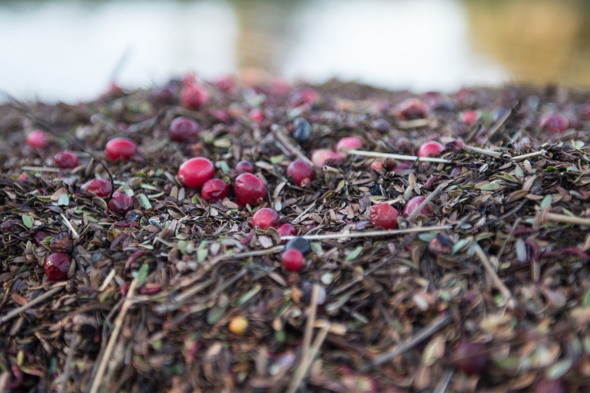 The farm has been flooded and the berries have been picked for the season, which is good news for dessert tonight. (Image: Chona Kasinger / Seattle Refined)