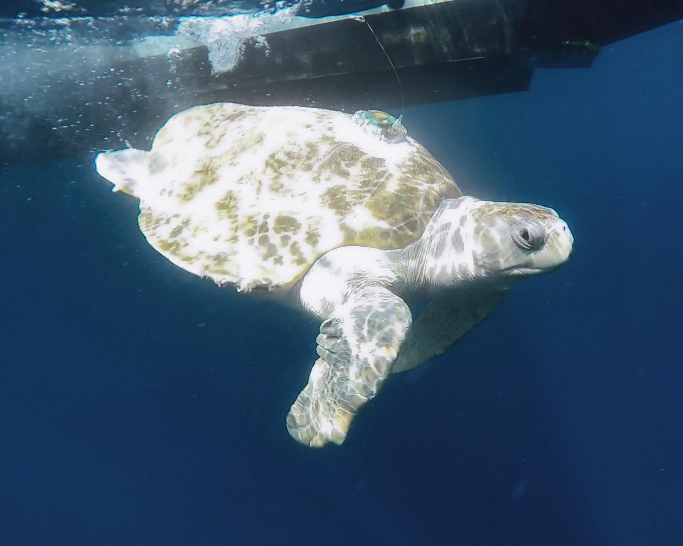 Tucker was rescued by the Seaside Aquarium in Oregon in December 2015, and like Lightning was one of that record-setting 10 turtles found that winter. Tucker was found comatose near Cannon Beach in Oregon and taken to the Seattle Aquarium for care. The Coast Guard flew Tucker to SeaWorld San Diego in April 2016. (SeaWorld)