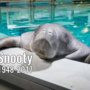 World's oldest manatee dies in 'horrible accident' at age 69
