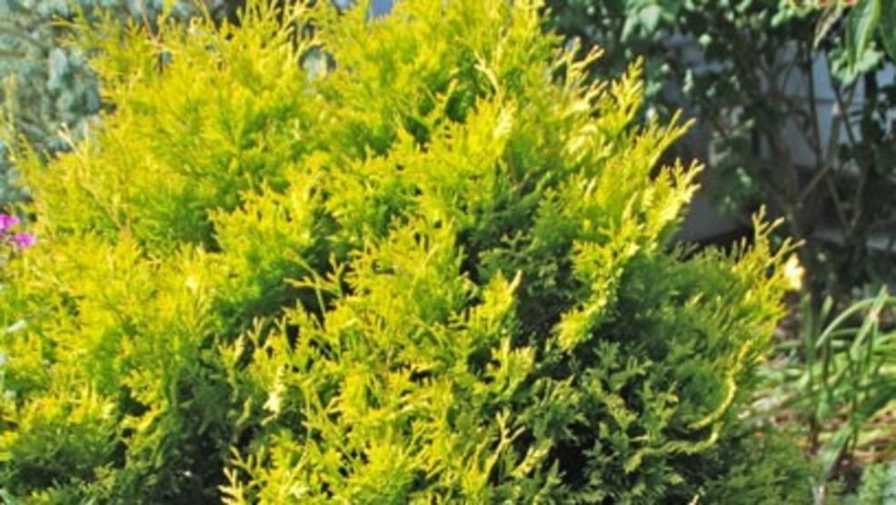 Melindau0027s Gardening Moment: Brighten The Landscape With Yellow Evergreens