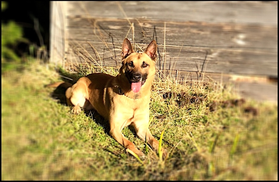 Coos County Sheriff's Office K-9 Odin (Coos County Sheriff's Office photo)