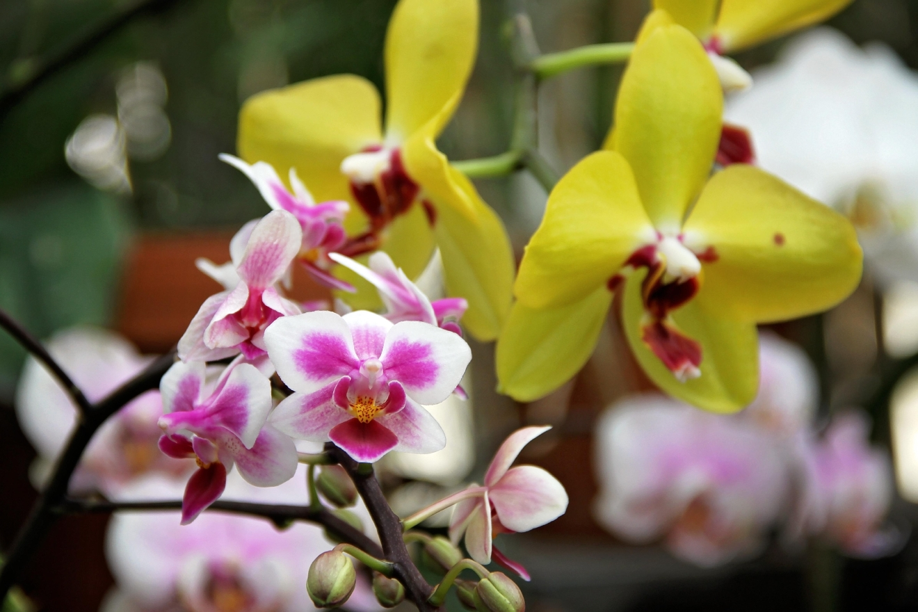 Biltmore Estate hosted 'Orchid Talks in the Conservatory' from January 23 until March 17 to showcase their orchid collection at peak bloom. (Photo credit: WLOS Staff)