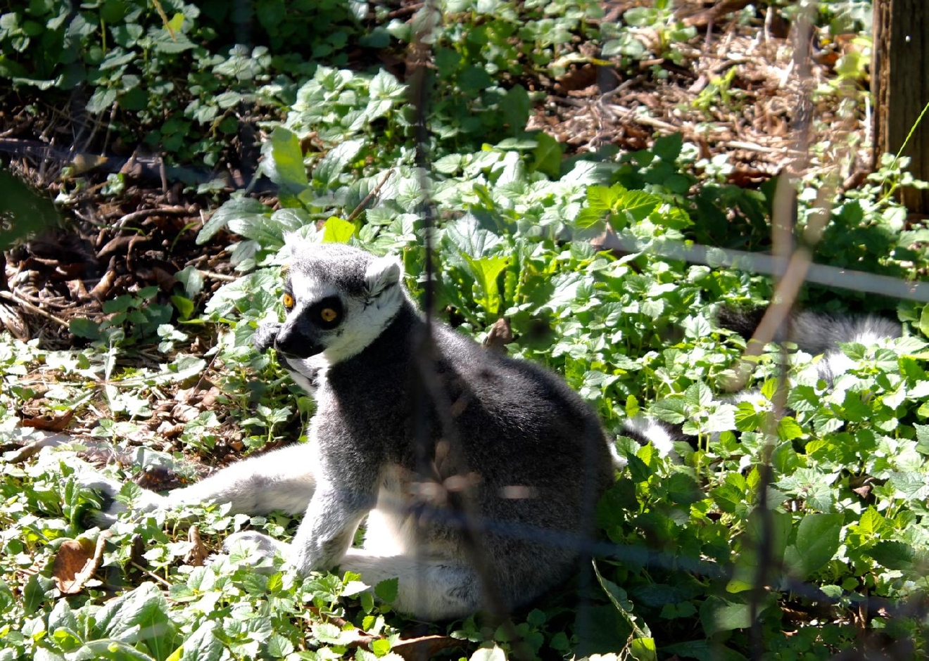 Ring-Tailed Lemurs, usually found in the southwestern highlands of Madagascar, have distinctive tails consisting of 13 alternating black and white bands. / Image: Rose Brewington