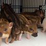 Pigs on the loose! Bibb Sheriff's Office rounds up rogue piglets