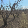 Stone fruit crops across the valley threatened by early bloom