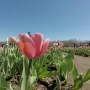 Tulip farm opens in Johnston
