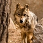 El Paso Zoo announces second Mexican wolf death this year
