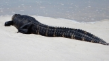 Gator caught catching some rays at Ft. Pickens