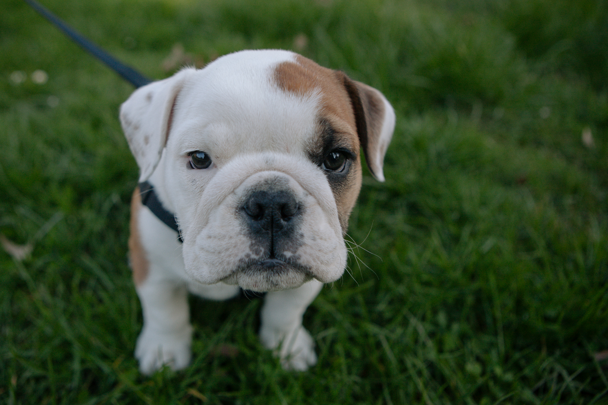 This 8 week old English Bulldog puppy was spotted enjoying a nice walk at Cowen Park in North Seattle. We caught up and took some photos. April 1st 2014. (Joshua Lewis / Seattle Refined)