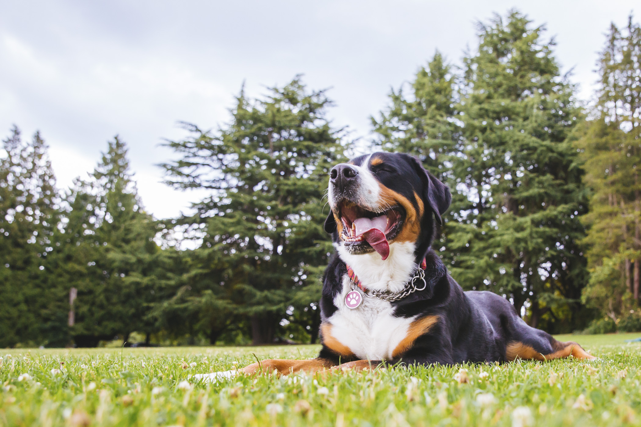 Meet Cleo, the four-year-old Great Swiss Mountain Dog! Cleo loves Tillamook cheddar, daily walks, other dogs, humans, the park, playing with her human siblings, naps and running in the snow! She dislikes the vacuum, rain, and lettuce.{ }The Seattle RUFFined Spotlight is a weekly profile of local pets living and loving life in the PNW. If you or someone you know has a pet you'd like featured, email us at hello@seattlerefined.com or tag #SeattleRUFFined and your furbaby could be the next spotlighted! (Image: Sunita Martini / Seattle Refined).