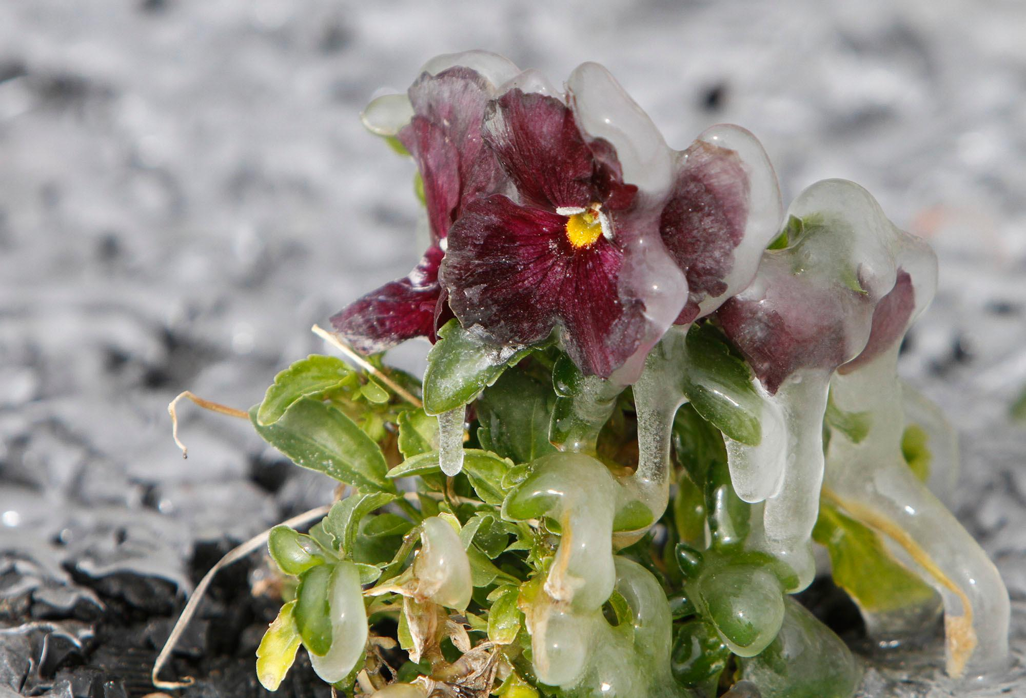 Ice covers a pansy near the fountain at Beau View condominiums in Biloxi, Miss., on Monday, Jan. 1, 2018. A hard freeze hit South Mississippi overnight and temperatures are expected to remain near or below freezing for the rest of the week. (John Fitzhugh/The Sun Herald via AP)
