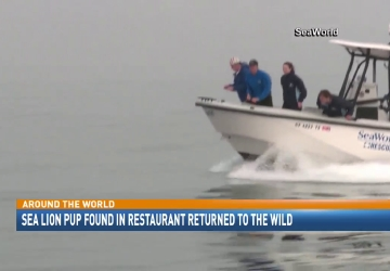 Sea lion pup found in restaurant released into the wild