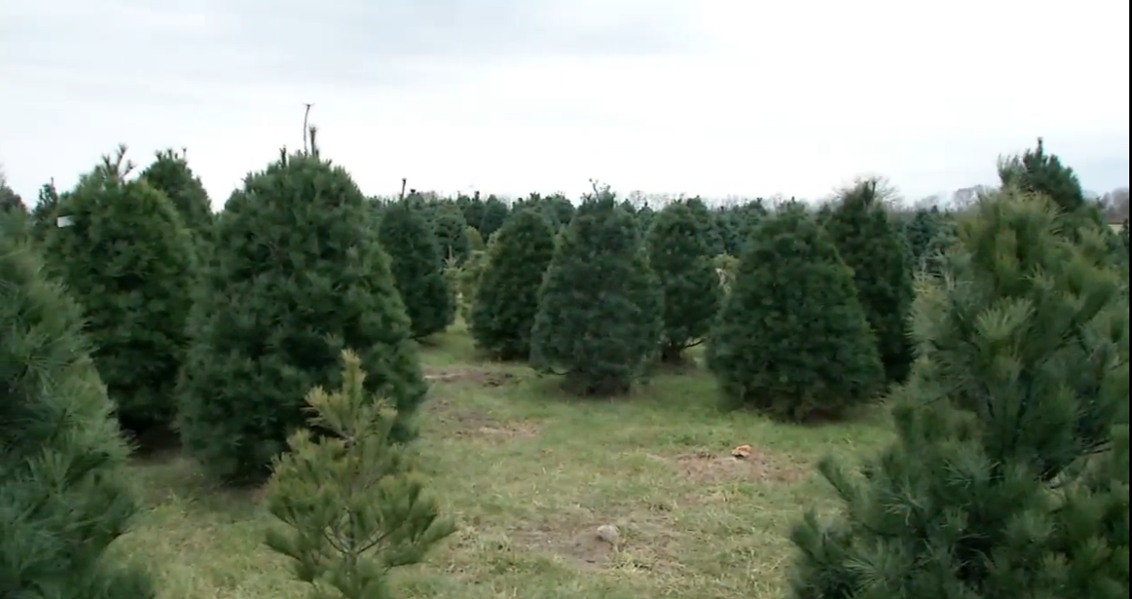 Experts explain the nationwide Christmas tree shortage