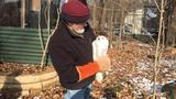 Second snowy owl released near Shiocton