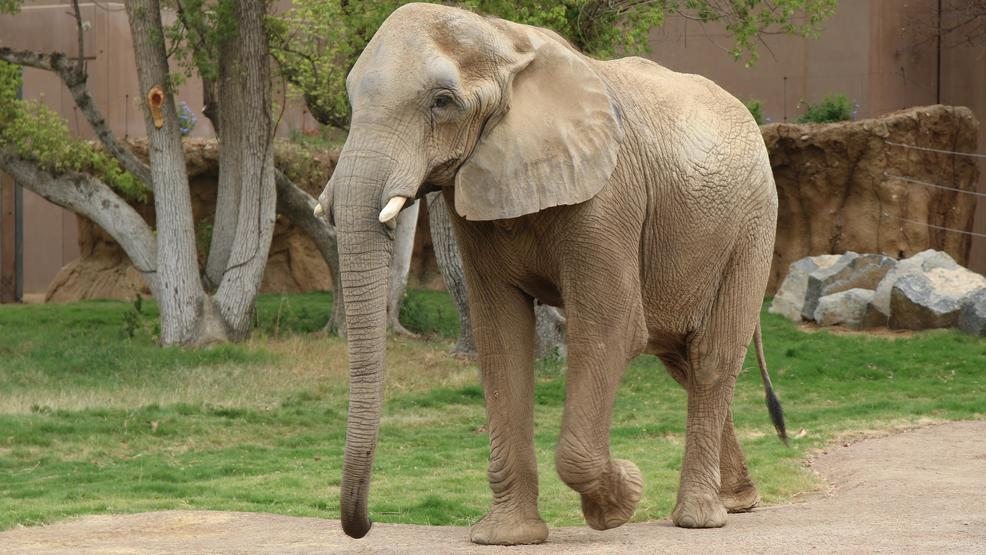 Female ♀ African Bush elephant (Loxodonta africana) Miss Bets at Chaffee Zoological Gardens