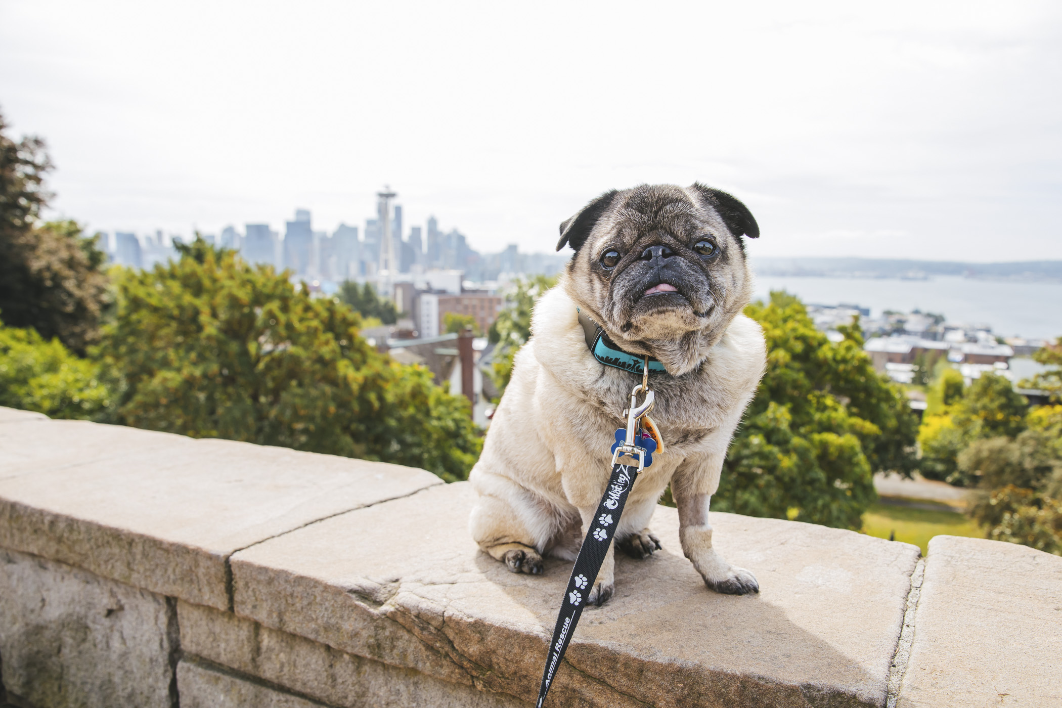 "This week's Pet of the Week is Otter aka ""Otter Pop!"" Otter is a nine year old Pug who was rescued from Seattle Pug Rescue and now lives a pampered life of retirement in Puyallup. Otter likes food, car rides, people watching, cuddling with his momma, puppies, sun bathing and naps. He dislikes nail times, late meals, baths (or water of any kind) and traffic.{ }The Seattle RUFFined Spotlight is a weekly profile of local pets living and loving life in the PNW. If you or someone you know has a pet you'd like featured, email us at hello@seattlerefined.com or tag #SeattleRUFFined and your furbaby could be the next spotlighted! (Image: Sunita Martini / Seattle Refined)."