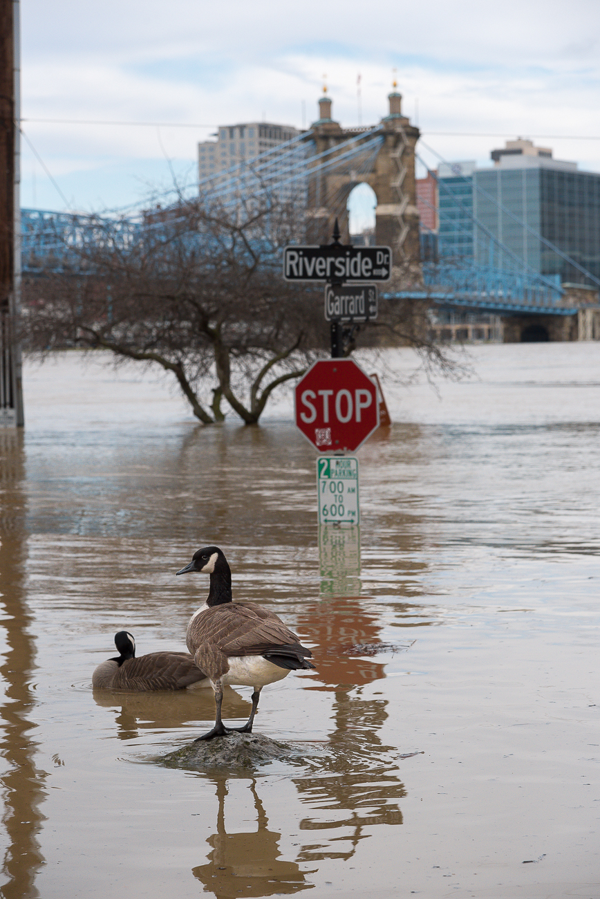 On Sunday, February 25, the Ohio River Flood of 2018 crested just above 60 feet, which is eight feet above the 52-foot flood stage. This is the biggest flood the city has seen since 1997. Smale Park is mostly underwater as are Sawyer Point and Yeatman's Cove. / Image: Phil Armstrong, Cincinnati Refined // Published: 2.26.18