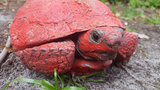 Gopher tortoise found covered with red paint and concrete, reward offered