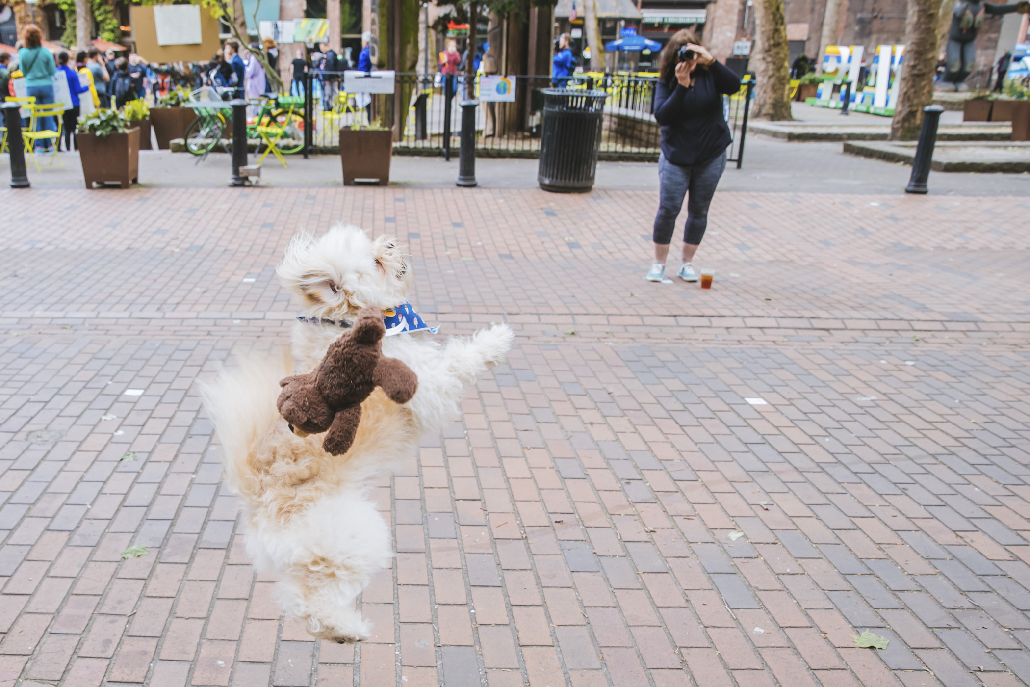 This is Max. Max is an Eskipoo, half American Eskimo and half mini Poodle and is 2.5 years young! Max is always happy and loves to play. He always has to carry a toy with him and he dreams one day of catching a squirrel. He likes cheese, chasing squirrels, going to the dog park, sticks, riding in his human's bike back pack, bacon and cuddles. He dislikes waking up in the morning and being away from his dad. You can follow Max's journey through life on instagram, @max_the_eskipoo.{ }The Seattle RUFFined Spotlight is a weekly profile of local pets living and loving life in the PNW. If you or someone you know has a pet you'd like featured, email us at hello@seattlerefined.com or tag #SeattleRUFFined and your furbaby could be the next spotlighted! (Image: Sunita Martini / Seattle Refined).