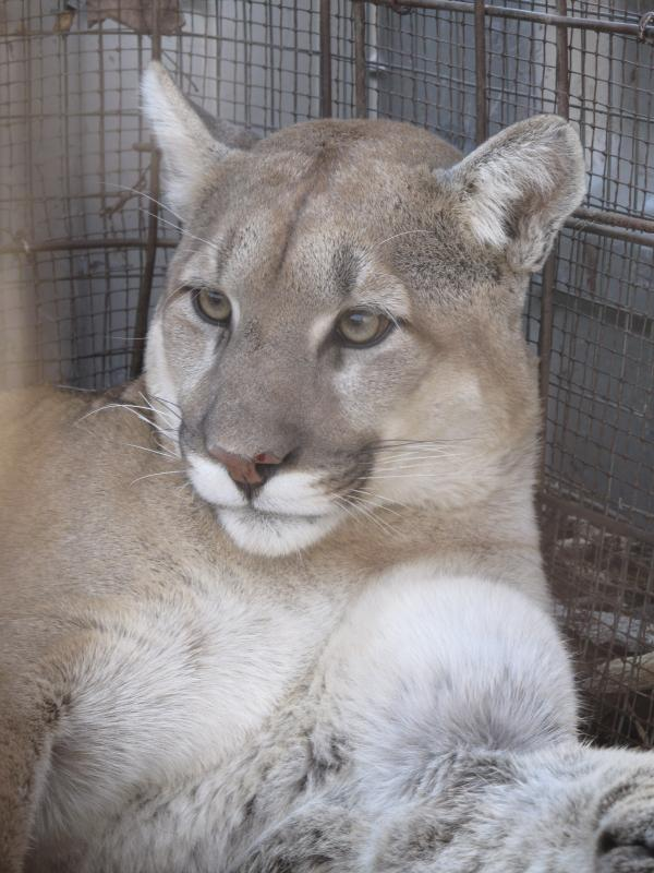 The cougar sat calmly in a cage for a while, but became irritated as people gathered around.