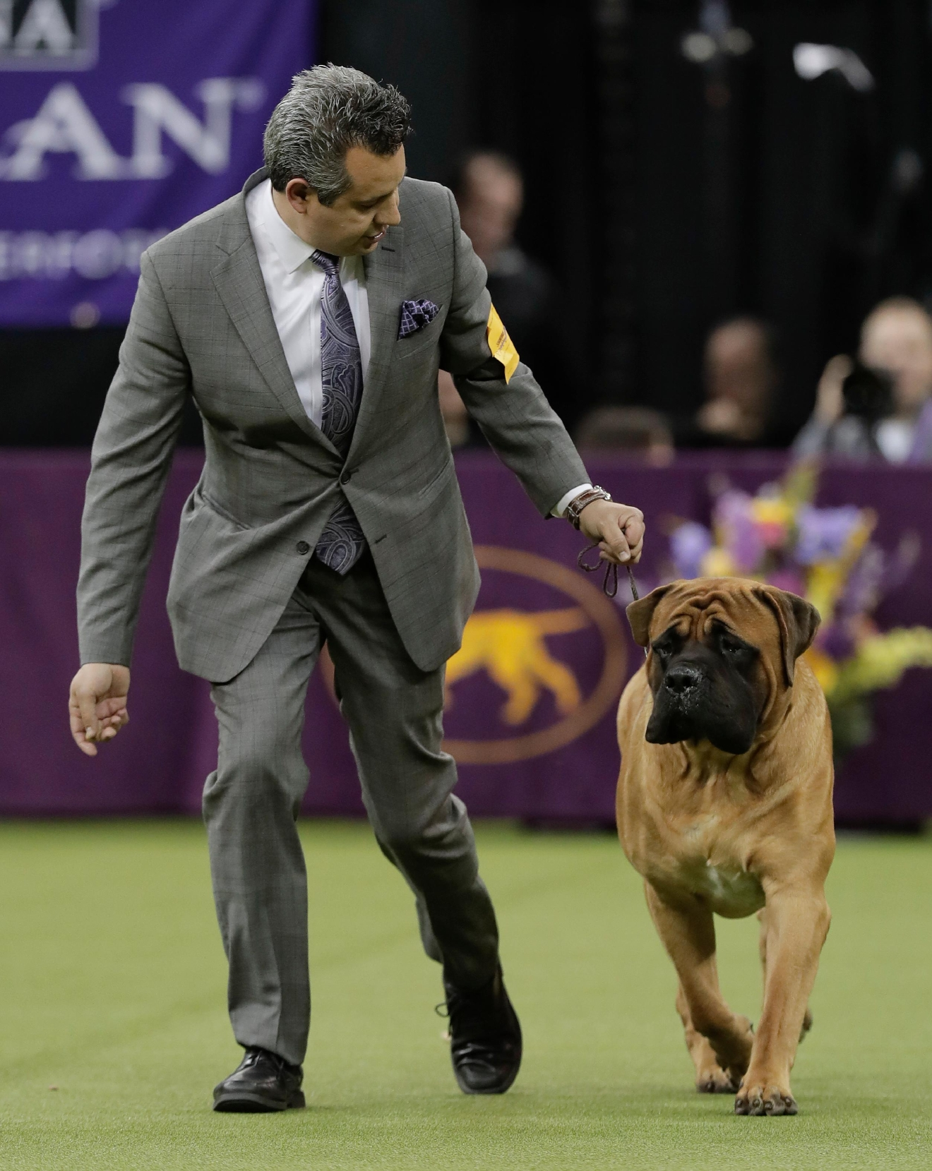 A handler guides a mastiff around the ring during the working group competition at the 141st Westminster Kennel Club Dog Show, Tuesday, Feb. 14, 2017, in New York. (AP Photo/Julie Jacobson)
