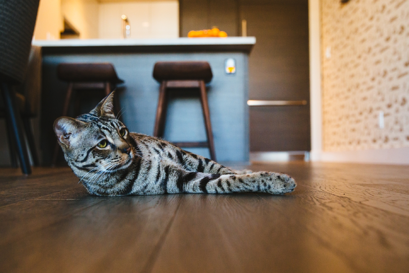 This week's RUFFined Spotlight is Angus the Savannah Cat! Angus lives with his mom and dad, Katy and Jim in Shoreline. He weighs 22 lbs and just keeps on growing! He has an older sister named Moxie, who you will occasionally see in Angus's Instagram account, @angusthesavannah. Angus likes eating, punching objects he's unsure of, meeting new people, bird watching, chasing the Roomba, chasing the mop, the pugs next door, and his wheel. His dislikes include sleeping alone, closed doors, car rides, and hairdryers. The Seattle RUFFined Spotlight is a weekly profile of local pets living and loving life in the PNW. If you or someone you know has a pet you'd like featured, email us at hello@seattlerefined.com or tag #SeattleRUFFined and your furbaby could be the next spotlighted! (Image: Sunita Martini)