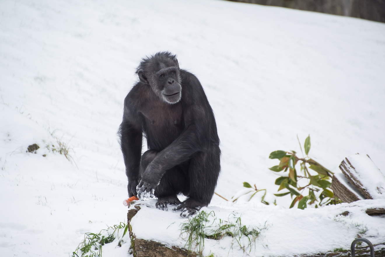 Chimpanzee Leah in the snow at the Oregon Zoo. © Oregon Zoo / photo by Shervin Hess.
