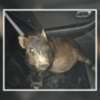 Man calls police, says he's being followed by unknown pig