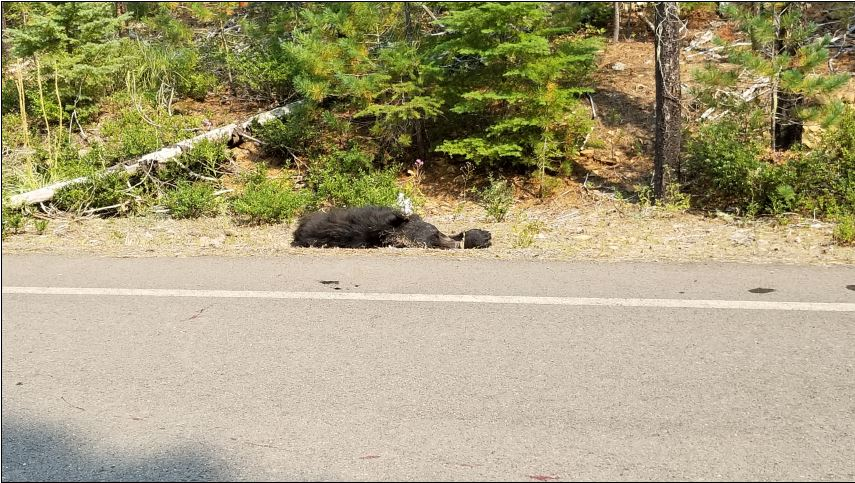 A motorcyclist was injured after colliding with a black bear near Detroit on August 28, 2017. The bear died. Photo courtesy Idanha-Detroit Rural Fire Protection District
