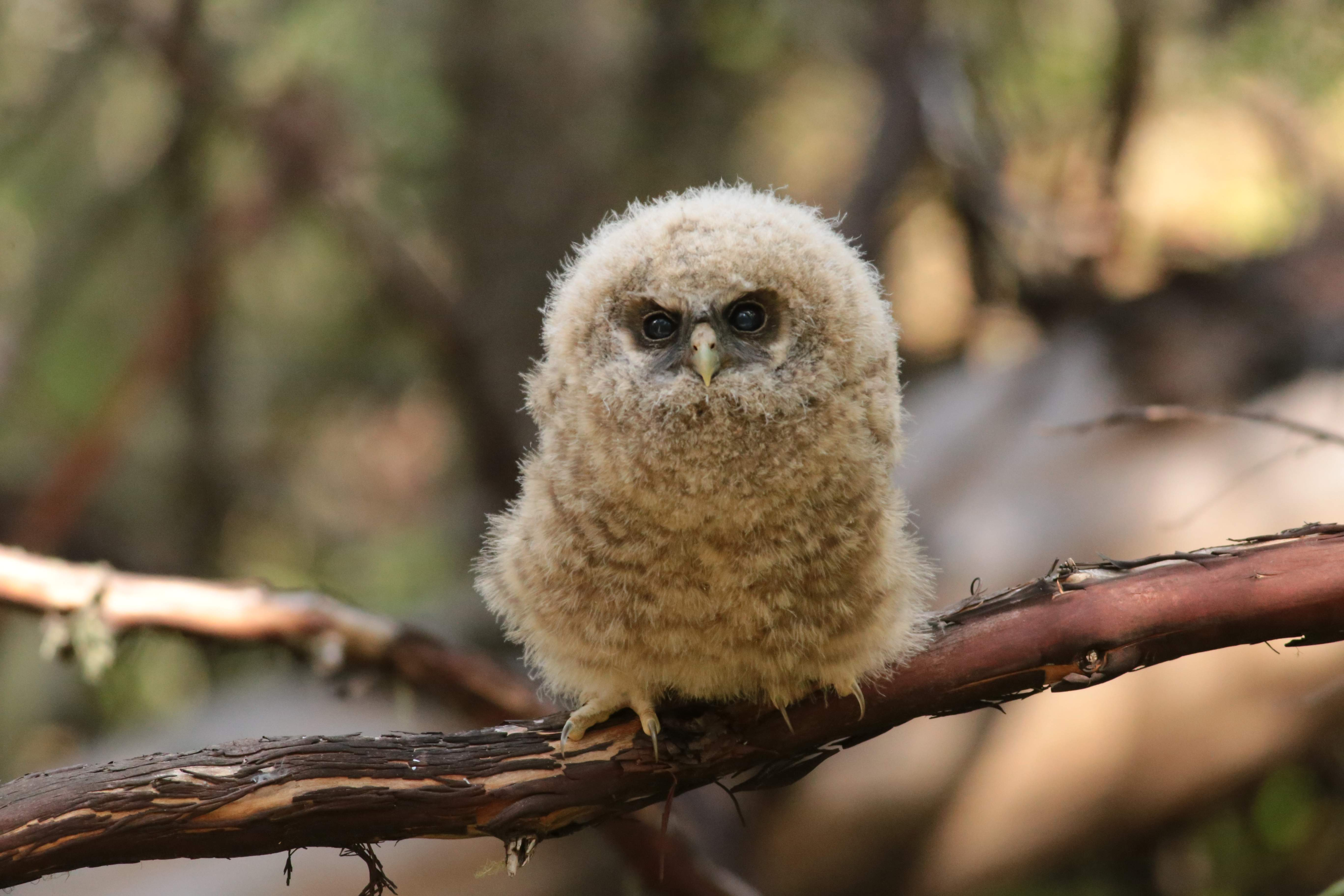 Fourth Place: Zia Fukuda of the Applegate wrote this description of her photo of a spotted owl fledgling: 'This is one of two young successfully fledged by a pair at a known site in Southern Oregon. In the study area, this site is one of only three out of 45 or more sites monitored that successfully reproduced and fledged young. - Photo by Zia Fukuda