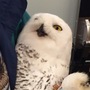 Snowy owl trapped at airport treated at New London veterinarian's office