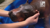 Zoo using experience with premature babies for newest hippo