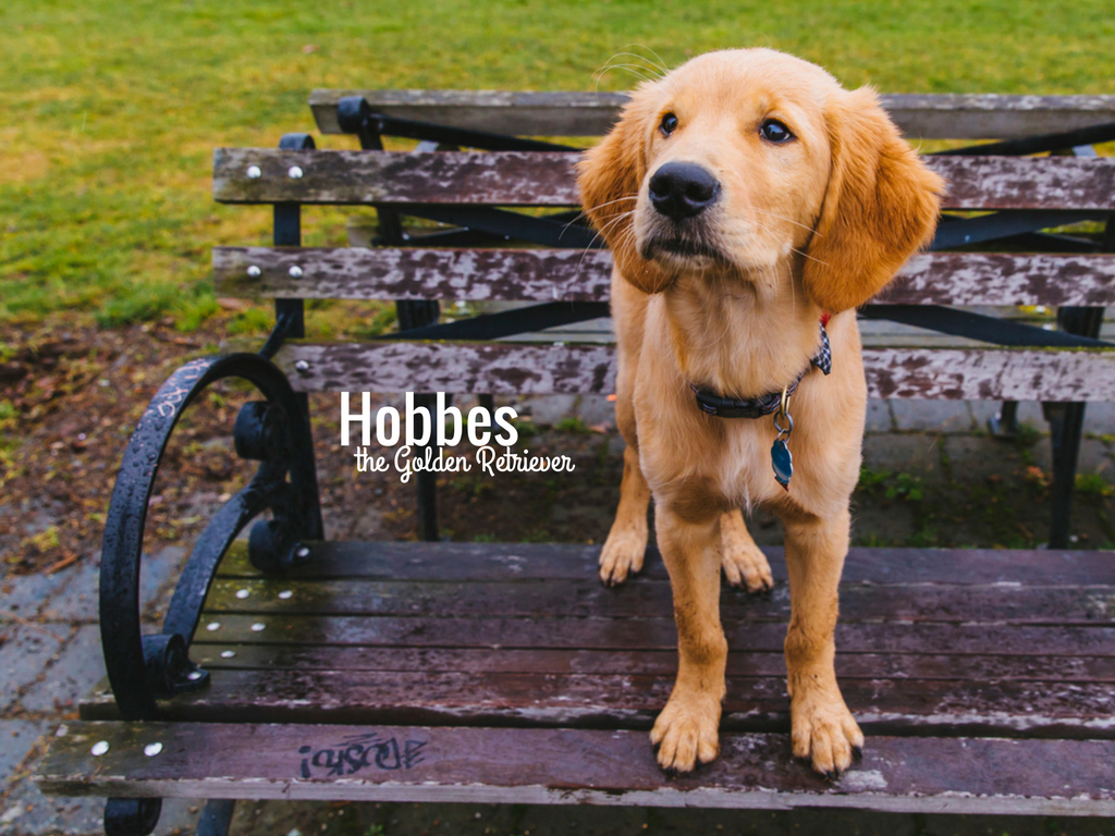 Hello, Hobbes! How cute is this Golden Retriever?! Hobbes is a four month old who is described as a full-time family man who is launching his new career at the Pawgram manager for the Digital Advertisting team at Amazon. He makes sure that everyone gets adequate play time. What a good guy! Hobbes likes sticks, his girlfriend Hannah,  bow ties, any and all of the food, people, toddlers, socks, leaves in the wind, treats, and naps. He dislikes the moment when you realize you ate all your food already. Been there, Hobbes...been there. You can follow Hobbes on instagram at @iamthehobbes. The Seattle RUFFined Spotlight is a weekly profile of local pets living and loving life in the PNW. If you or someone you know has a pet you'd like featured, email us at hello@seattlerefined.com or tag #SeattleRUFFined and your furbaby could be the next spotlighted! (Image: Sunita Martini / Seattle Refined).