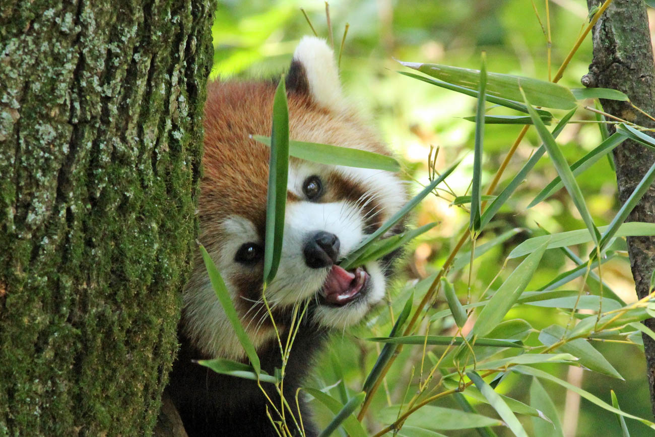 One of the{ }Cincinnati Zoo & Botanical Garden's red pandas / Image: Larry Thomas // Published: 1.16.19