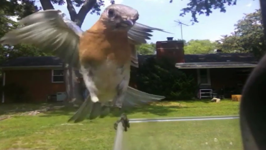 The female bluebird flies in to take her turn at gathering food for herself and for her fledglings. (Video Screen Grab: Richard Simms)