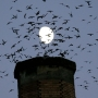 Vaux's Swifts struggle for shelter as chimneys torn down along migration route