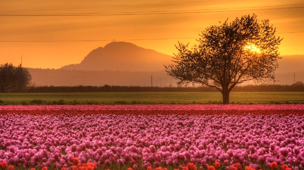 Warm April To Bring Early End To Skagit Valley Tulip
