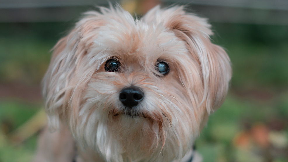 STAR 101.5 Pet of the Week: Sophie, a Bichon Frise, is looking for someone to snuggle!