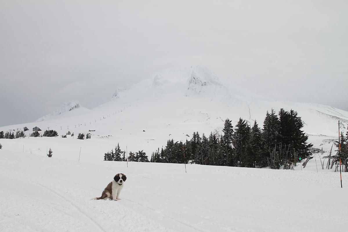 Bruno the St. Bernard (Courtesy Timberline)
