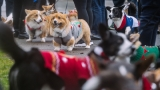PHOTOS: Corgis in ugly sweaters parade around Seattle's Green Lake