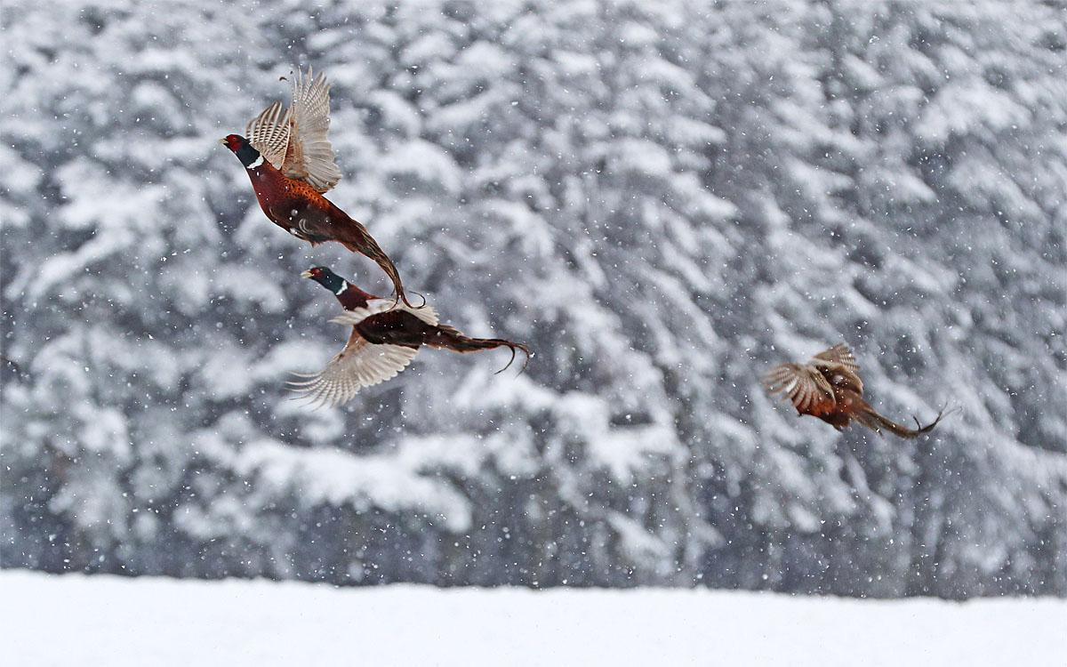 Pheasants take flight in snowfall near Hamsterley Forest, north east England, Wednesday Nov. 9, 2016. Snowfall overnight covered northern parts of Britain. (Owen Humphreys/PA via AP)