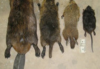 Left to right - beaver, nutria, groundhog, muskrat  _  Photo courtesy of the Skagit Nutria Advisory Committee.jpg