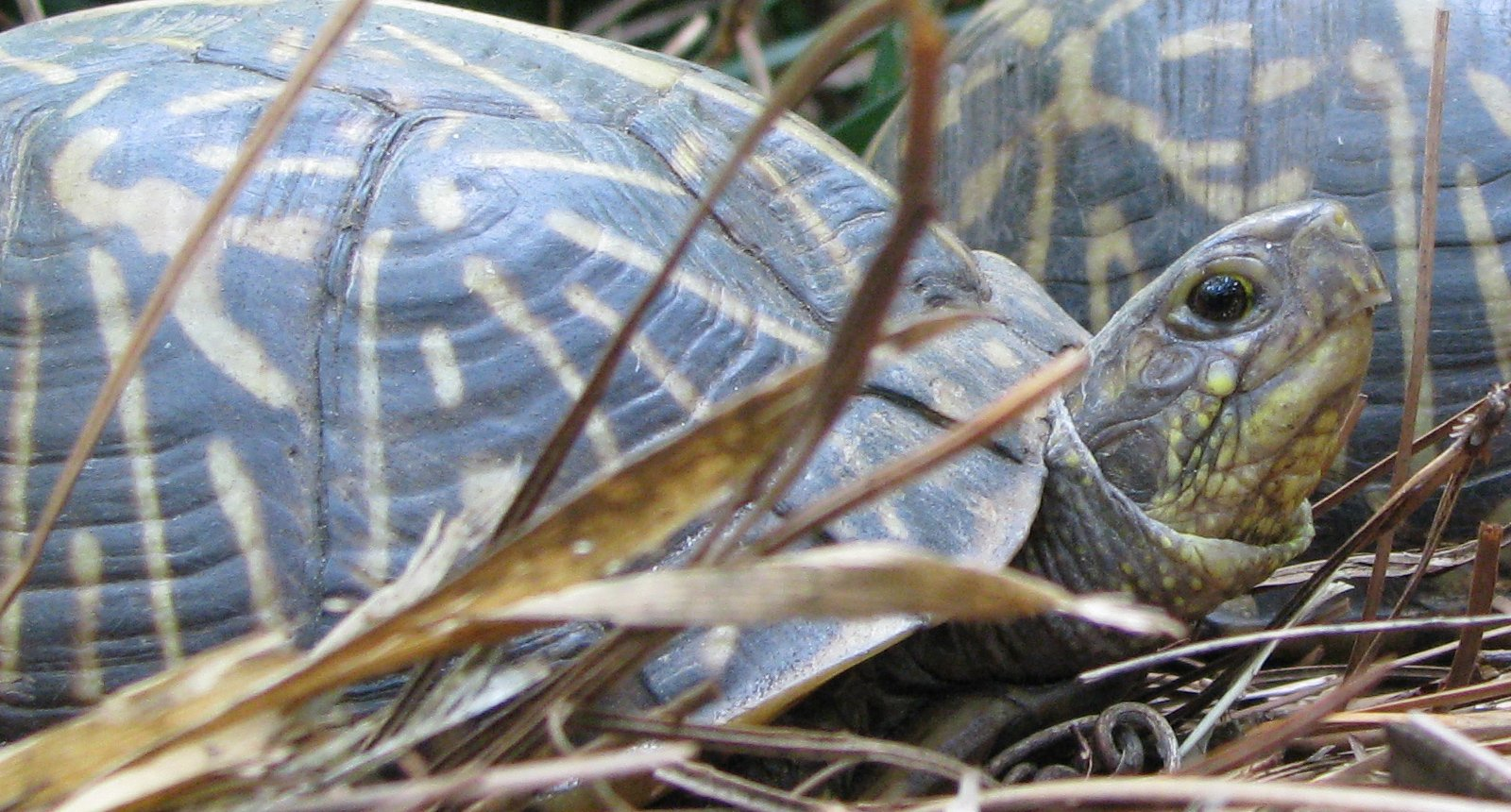 florida-box-turtle.jpg