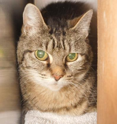 Hi friends, I'm Genie – a lovely six year old brown tabby girl who would love to meet you! I can be shy at first, but once settled, you'll see I'm very friendly and affectionate. A family with adults and older kids who can handle me gently and help with my care are my best match!<p></p>