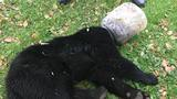 Maryland wildlife officials rescue bear cub that had bucket on head for 3 days